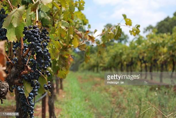 深夜ハーヴェストワイン用のブドウ