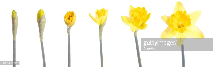 Image of a yellow flower blooming over time
