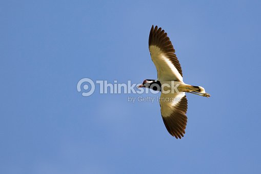 Image of bird flying in the sky. Wild Animals. Red-wattled lapwing bird (Vanellus indicus)