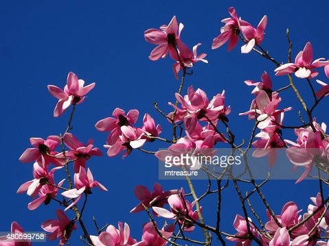 Image of branches on flowering magnolia-tree covered with pink flowers : Stock Photo