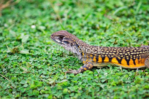 Image of Butterfly Agama Lizard (Leiolepis Cuvier) on the green grass. Reptile Animal