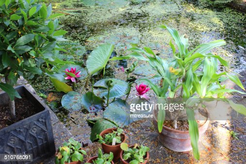 Image of concrete garden pond with water lilies bog plants for Garden pond unlimited