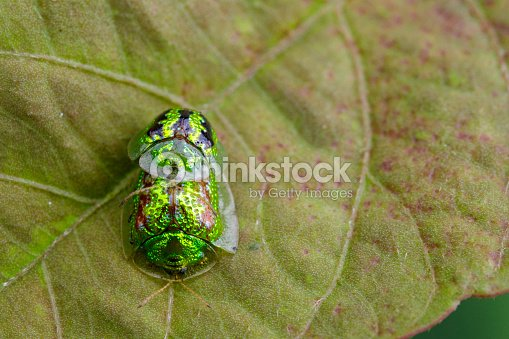 Image of Green turtle beetle (Escarabajo tortuga) on green leaves. Insect Animal
