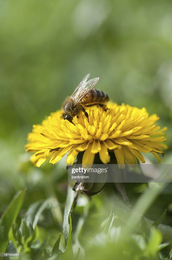 Image of Honey bee : Stock Photo