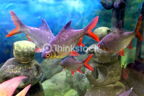 Image of large tinfoil barbs in tropical fish tank for Big freshwater aquarium fish