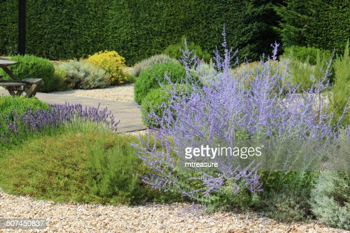 image of ornamental gravel garden screen garden summer flowers perovskia stock photo getty images. Black Bedroom Furniture Sets. Home Design Ideas
