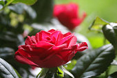 Stock photo showing a flower pot with dark red rose flowers, miniature pot plant growing in summer garden, miniature roses from supermarket garden centre growing as romantic houseplant.