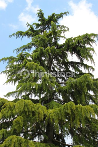 Image Of Tall Deodar Cedar Tree Weeping Cedar Stock Photo Thinkstock