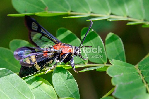 Image of Wasp moth on green leaves. Insect Animal