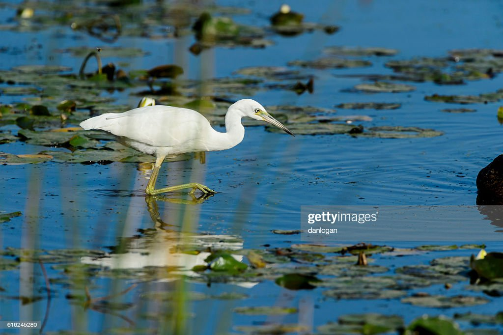 Immature Little Blue Heron : Stock Photo