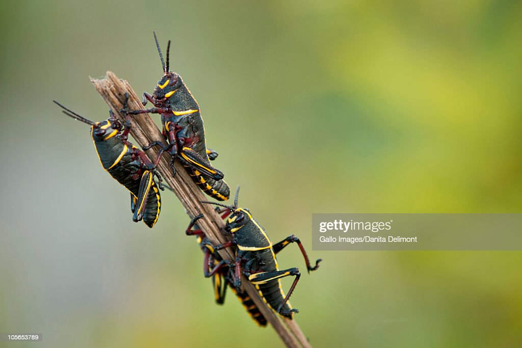 Immature lubber grasshoppers (Romalea guttata), Loxahatchee National Wildlife Refuge, Everglades Drainage, Florida, USA : Stock Photo