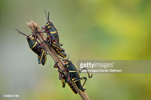 Immature lubber grasshoppers (Romalea guttata), Loxahatchee National Wildlife Refuge, Everglades Drainage, Florida, USA : Foto de stock