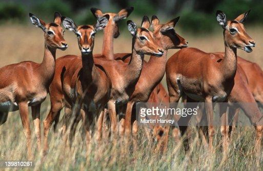 Impala, Aepyceros melampus, herd on Mara plains, Maasai Mara National Park, Kenya Southern & Eastern Africa. : ストックフォト
