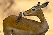 Impala and Red-billed Oxpecker, Ruaha NP, Tanzania