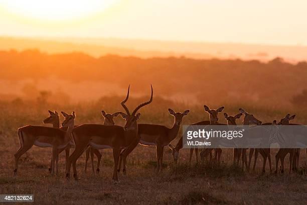 Impala at dawn