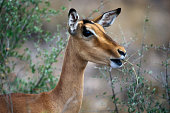 Impala female eating Kruger National Park South Africa