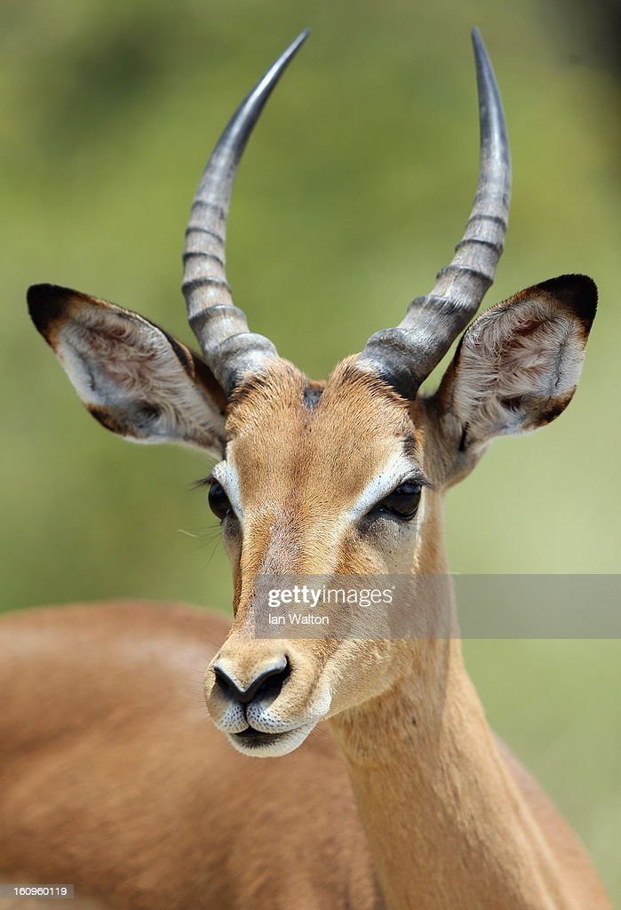 A impala is pictured in Kruger National Park on February 6, 2013 in Skukuza, South Africa.