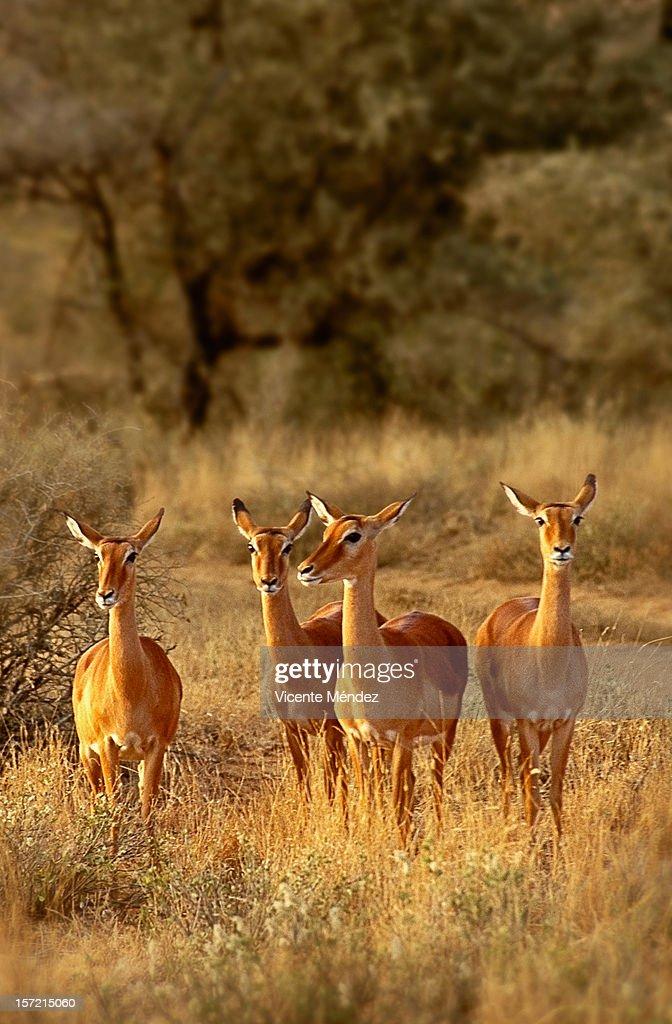 Impala Kenya : Stock Photo