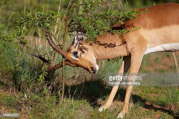 Impala male scent-marking