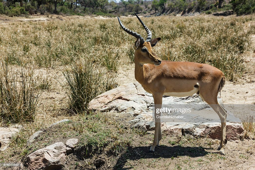 Impala : Stock Photo