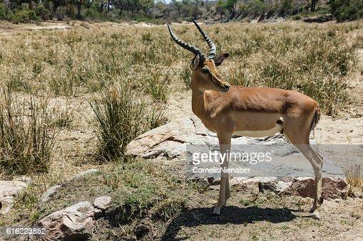 Impala : Stockfoto
