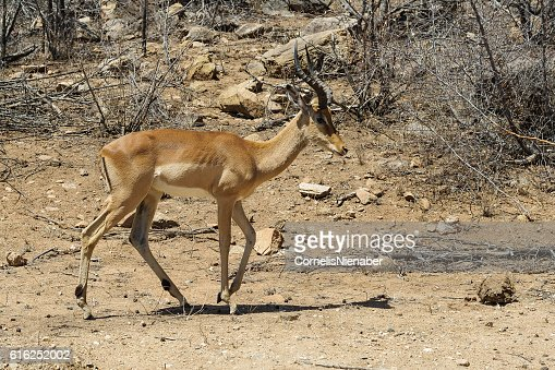 Impala : Foto de stock