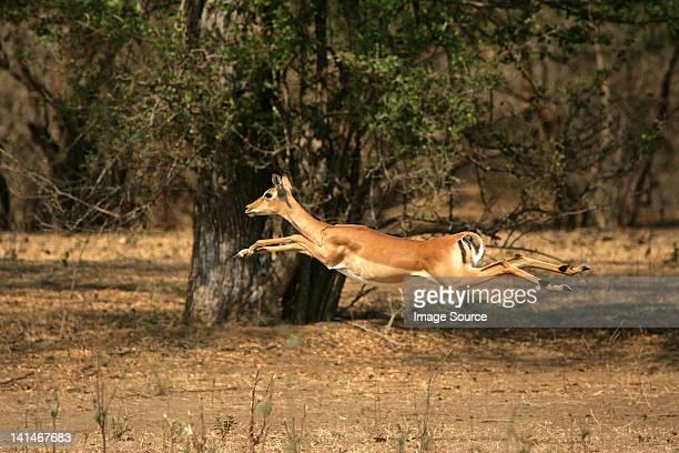 Impala running through forest