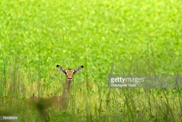 Impala (Aepyceros melampus) stands on the edge of Lake Chivero which is covered in Hyacinth. Mana Pools National Park, Mashonaland, Zimbabwe, Africa