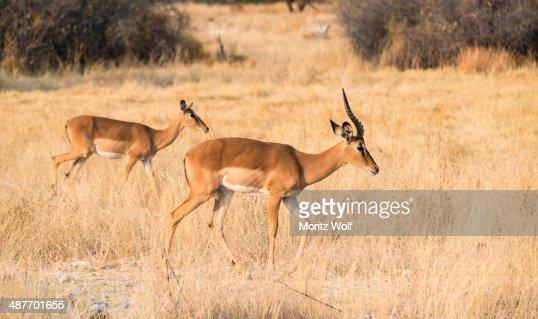 Impalas -Aepyceros melampus petersi-, Etosha National Park, Namibia
