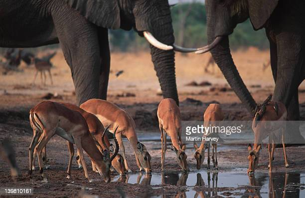 Impalas, Aepyceros melampus, with elephants at waterhole, Chobe National Park, Botswana, Southern & Eastern Africa.