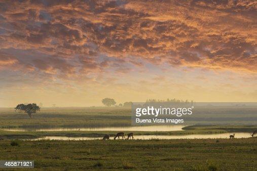 Impalas in the morning in Chobe Nat. Park