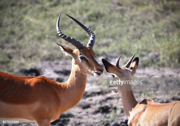 Impalas - mother and child