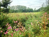 Landscape with impatiens glandilufera,an annual wildflower, often growing on riverbanks and  flowering  from June till October. Allso named Policemen's Helmet, Indian Balsam or ornamental jewelweed. M