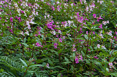 Himalayan balsam or Impatiens glandulifera, a member of the busy lizzie. A major weed problem in the United Kingdom. Also known as Indian balsam, jumping jack or policeman's helmet,