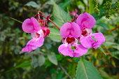 pink flower at wild garden (impatiens glandulifera)