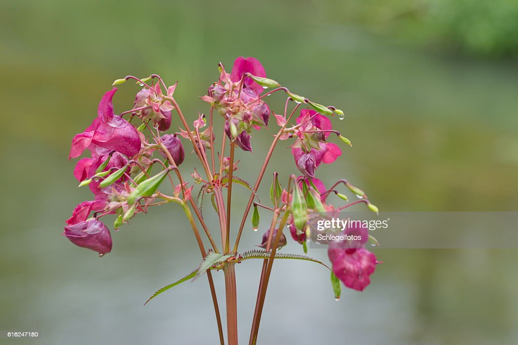 impatiens glandulifera pink plant : Stock Photo