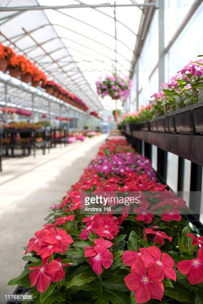Impatiens in a Greenhouse