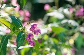 Impatiens flower on a river - Bach Flower Remedies