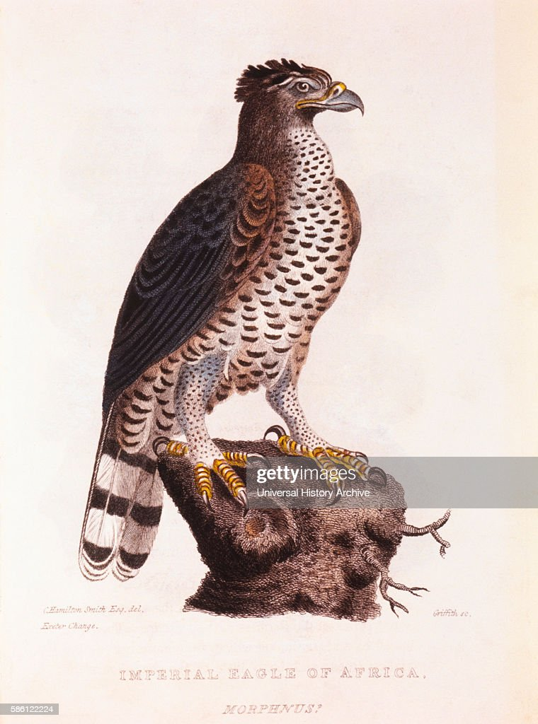 Imperial Eagle of Africa HandColored Engraving from Original by Baron Cuvier circa 1828