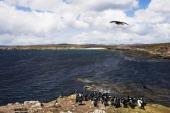 Imperial Shag cormorants colony Falkland Islands British Overseas Territory United Kingdom