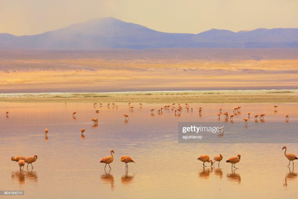 Impressive Laguna colorada - Red lake reflection, Andean Flamingos birds and Idyllic Altiplano Atacama Desert, Volcanic landscape panorama – Potosi region, Bolivian Andes, Bolívia