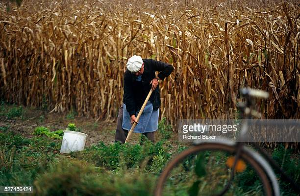 In a field at the town of Boofzheim in the eastern French Alsace region an elderly Frenchman harvests some of his selfgrown carrots crop Having left...