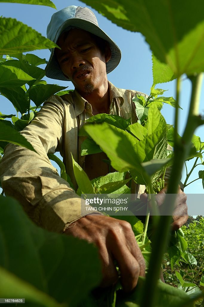 In a picture taken on February 12, 2013, a Cambodian man collects mulberry leafs to feed silkworms at the Banteay Dek Silk station in Kandal province, some 30 kilometers southeast of Phnom Penh. In a small room in the Cambodian capital, laboratory technicians wearing latex gloves and flip-flops inspect hundreds of buzzing white silkworm moths before pairing them up to mate. With its silk industry in rapid decline, Cambodia is pinning its hopes on moth matchmaking and disease control to save its precious silkworms and keep centuries-old traditions alive.