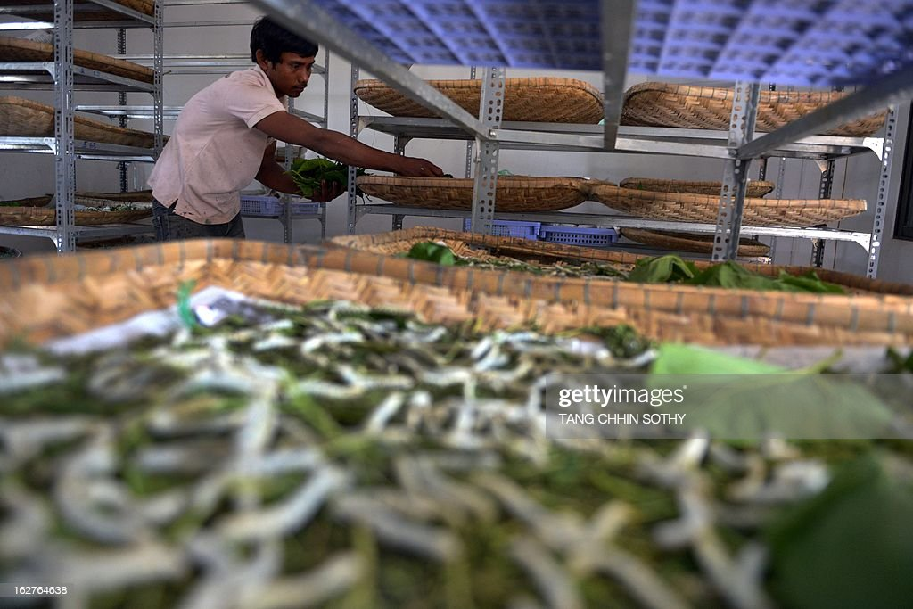 In a picture taken on February 12, 2013, a Cambodian worker feeds silkworms at the Banteay Dek Silk station in Kandal province, some 30 kilometers southeast of Phnom Penh. In a small room in the Cambodian capital, laboratory technicians wearing latex gloves and flip-flops inspect hundreds of buzzing white silkworm moths before pairing them up to mate. With its silk industry in rapid decline, Cambodia is pinning its hopes on moth matchmaking and disease control to save its precious silkworms and keep centuries-old traditions alive.