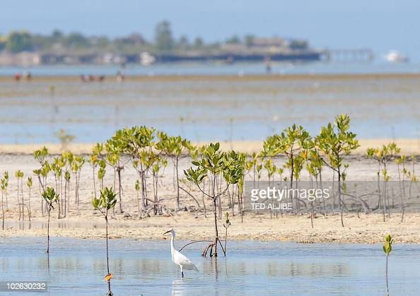 In a picture taken on March 3 2010 an egret looks for food in the reserve of San Vicente village Olango island in Cebu province Spring beckons and...