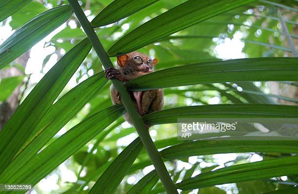STORY 'PHILIPPINESENVIRONMENTTARSIER' FEATURE In a picture taken on November 7 a Philippine Tarsier holds onto a branch on Bohol island in the...