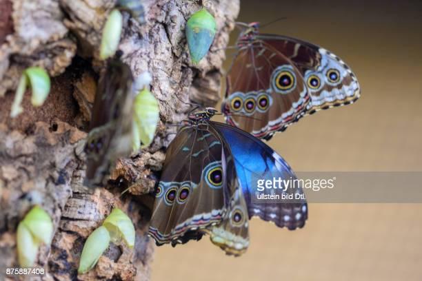 In Bremen in der Botanika sind tropische Schmetterlinge zu sehen
