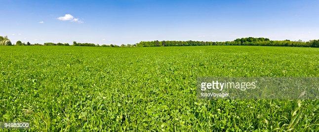In clover field under blue skies