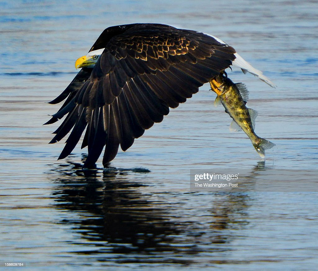 in Darlington, MD on November 29, 2012. The eagles as well as other birds feed on fish that spit out below Conowingo Dam that holds the Susquehanna river.