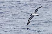 An In flight Black-capped Petrel, Pterodroma hasitata